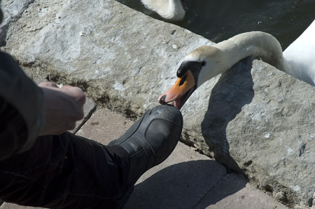 Boot-eating swan